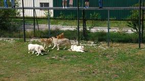 Οι επισκέπτες ταΐζουν τα λιοντάρια στο ζωολογικό κήπο απόθεμα βίντεο