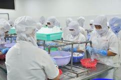 Οι εργαζόμενοι ξεφλουδίζουν τα καλαμάρια για την εξαγωγή σε ένα εργοστάσιο θαλασσινών στο Βιετνάμ Στοκ φωτογραφία με δικαίωμα ελεύθερης χρήσης