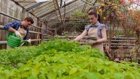 Οι εργαζόμενοι στο θερμοκήπιο, γεωπόνος γυναικών με επιθεωρημένα τα ταμπλέτα σπορόφυτα, κηπουρός ανδρών ποτίζουν τις εγκαταστάσει απόθεμα βίντεο