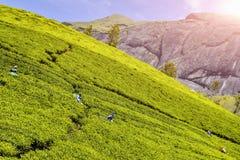 Οι εργαζόμενοι στο τσάι καλλιεργούν στοκ φωτογραφία με δικαίωμα ελεύθερης χρήσης