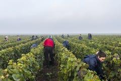 Οι εργαζόμενοι συγκομίζουν Campagne σε Verzernay Στοκ Φωτογραφία