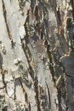 Οι ερπυσμοί κανθάρων κατά μήκος του φλοιού Στοκ φωτογραφία με δικαίωμα ελεύθερης χρήσης