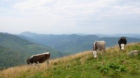 Οι εσωτερικές αγελάδες βόσκουν στα Καρπάθια βουνά Ουκρανία φιλμ μικρού μήκους