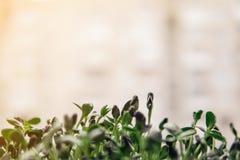 Οι εσωτερικοί diy σπόροι ηλίανθων Στοκ φωτογραφία με δικαίωμα ελεύθερης χρήσης