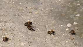 Οι ευρωπαϊκές σκοτεινές μέλισσες συλλέγουν την υγρασία από το έδαφος απόθεμα βίντεο