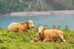 Οι ευτυχείς αγελάδες από το χωριό Kandersteg στηρίζονται από τη λίμνη Oeschinen, καντόνιο της Βέρνης, Ελβετία στοκ εικόνα με δικαίωμα ελεύθερης χρήσης