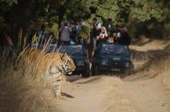 Οι ευχαριστημένοι τουρίστες προσέχουν επάνω όπως μια αρσενική τίγρη της Βεγγάλης προκύπτει από τους θάμνους Στοκ εικόνα με δικαίωμα ελεύθερης χρήσης