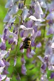 Οι ευώδεις ανθίσεις wisteria προσελκύουν bumblebees στα τέλη της άνοιξης Στοκ εικόνα με δικαίωμα ελεύθερης χρήσης