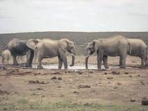 οι ελέφαντες αγαπούν δύο Στοκ Φωτογραφίες