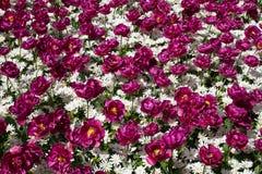 Οι ζωηρόχρωμες τουλίπες, υάκινθοι, κρίνος, hydrangeas, λουλούδια muscari σταθμεύουν την άνοιξη Στοκ Εικόνα