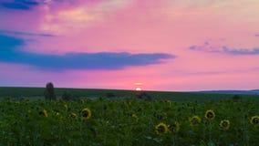 Οι ηλίανθοι γυρίζουν τα κίτρινα λουλούδια τους στην αυγή, ο ήλιος εμφανίζεται στον ορίζοντα, πρωί αρχών του καλοκαιριού σε έναν α στοκ φωτογραφία με δικαίωμα ελεύθερης χρήσης