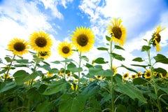 Οι ηλίανθοι κήπων στη φύση Στοκ εικόνα με δικαίωμα ελεύθερης χρήσης