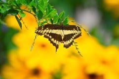 Οι ηλίανθοι και ο γίγαντας καταπίνουν την πεταλούδα ουρών Στοκ Εικόνες