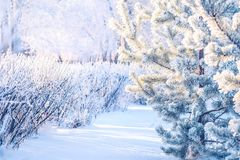 Οι θάμνοι κλάδων τακτοποίησαν στο πάρκο φύσης κλάδων δέντρων έλατου δασών και πεύκων με το χιόνι χειμερινού παγετού hoarfrost Στοκ Εικόνες