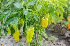 οι θάμνοι του κίτρινου/πράσινου πιπεριού αυξάνονται στον τομέα φυτικές σειρές Καλλιέργεια, γεωργία Τοπίο με τη αγροτική γη συγκομ στοκ φωτογραφίες