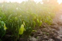 οι θάμνοι του κίτρινου/πράσινου πιπεριού αυξάνονται στον τομέα φυτικές σειρές Καλλιέργεια, γεωργία Τοπίο με τη αγροτική γη συγκομ στοκ εικόνες με δικαίωμα ελεύθερης χρήσης