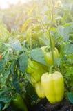 οι θάμνοι του κίτρινου/πράσινου πιπεριού αυξάνονται στον τομέα φυτικές σειρές Καλλιέργεια, γεωργία Τοπίο με τη αγροτική γη συγκομ στοκ φωτογραφία με δικαίωμα ελεύθερης χρήσης