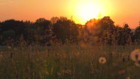 Οι θερμές ακτίνες του ήλιου λάμπουν το λιβάδι χλόης στο ηλιοβασίλεμα απόθεμα βίντεο