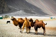 Οι διπλές βακτριανές καμήλες εξογκωμάτων Στοκ εικόνα με δικαίωμα ελεύθερης χρήσης