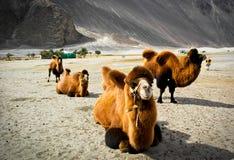 Οι διπλές καμήλες εξογκωμάτων στην κοιλάδα Nubra Στοκ Εικόνες