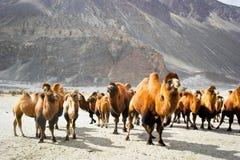 Οι διπλές καμήλες εξογκωμάτων Στοκ Εικόνες