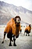 Οι διπλές καμήλες εξογκωμάτων Στοκ Φωτογραφίες