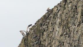 Οι ισχυροί άνεμοι Braving πελεκάνων πουλιών άγριων ζώων παρεκκλίνουν απότομος βράχος Bluff απόθεμα βίντεο
