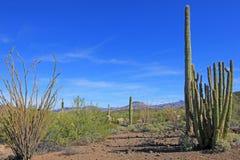 Οι κάκτοι σωλήνων, Saguaro και Ocotillo οργάνων στο όργανο διοχετεύουν με σωλήνες το εθνικό μνημείο κάκτων, Αριζόνα, ΗΠΑ στοκ εικόνες με δικαίωμα ελεύθερης χρήσης
