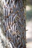 Οι κάμπιες πεταλούδων υποστηρίζουν επάνω μια αμυντική θέση σε έναν κορμό δέντρων, επιφυλάξεις Tsingy, Ankarana, Μαδαγασκάρη Στοκ εικόνες με δικαίωμα ελεύθερης χρήσης