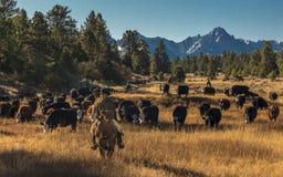 Οι κάουμποϋ στο Drive βοοειδών συλλέγουν τις διαγώνιες αγελάδες του Angus/Hereford και τη θερμ. Στοκ φωτογραφία με δικαίωμα ελεύθερης χρήσης