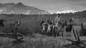 Οι κάουμποϋ στο Drive βοοειδών συλλέγουν τις διαγώνιες αγελάδες του Angus/Hereford και τη θερμ. Στοκ Φωτογραφία