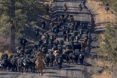 Οι κάουμποϋ στο Drive βοοειδών συλλέγουν τις διαγώνιες αγελάδες του Angus/Hereford και τη θερμ. Στοκ φωτογραφίες με δικαίωμα ελεύθερης χρήσης