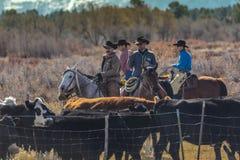 Οι κάουμποϋ στο Drive βοοειδών συλλέγουν τις διαγώνιες αγελάδες του Angus/Hereford και τη θερμ. Στοκ Εικόνα