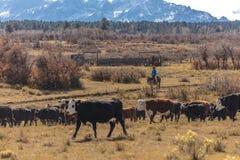 Οι κάουμποϋ στο Drive βοοειδών συλλέγουν τις διαγώνιες αγελάδες του Angus/Hereford και τη θερμ. Στοκ Εικόνες