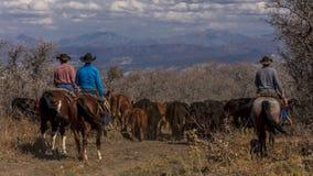 Οι κάουμποϋ στο Drive βοοειδών συλλέγουν τις διαγώνιες αγελάδες του Angus/Hereford και τη θερμ. Στοκ Φωτογραφίες