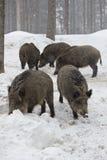 οι κάπροι συσκευάζουν τις άγρια περιοχές Στοκ Εικόνες