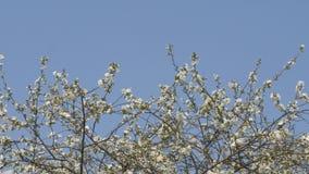 Οι κήποι άνοιξη είναι ανθίζοντας κλάδος με τα λουλούδια φιλμ μικρού μήκους