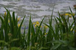 Οι κίτρινες ίριδες ανθίζουν Στοκ φωτογραφία με δικαίωμα ελεύθερης χρήσης