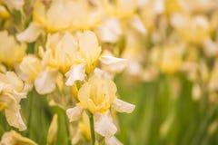 Οι κίτρινες ίριδες λουλουδιών καλλιεργούν την άνοιξη Στοκ φωτογραφίες με δικαίωμα ελεύθερης χρήσης