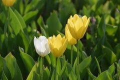 Κίτρινες και άσπρες τουλίπες στοκ φωτογραφίες