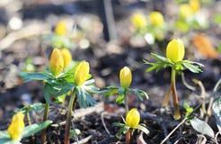 Οι κίτρινες νεραγκούλες βλάστησαν επάνω μέσω του ελατηρίου χλόης στο PA Στοκ Εικόνες