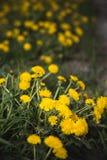 Οι κίτρινες πικραλίδες αυξάνονται σε έναν τομέα το καλοκαίρι στοκ εικόνα