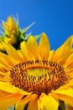 Οι κίτρινοι ηλίανθοι αυξάνονται στον τομέα γεωργικές συγκομιδές Στοκ εικόνες με δικαίωμα ελεύθερης χρήσης