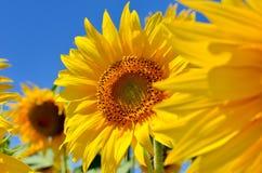 Οι κίτρινοι ηλίανθοι αυξάνονται στον τομέα γεωργικές συγκομιδές Στοκ Φωτογραφίες