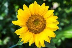 Οι κίτρινοι διακοσμητικοί ηλίανθοι στο υπόβαθρο κήπων κλείνουν αυξημένος Στοκ Εικόνες