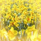 Οι κίτρινοι νάρκισσοι Στοκ εικόνα με δικαίωμα ελεύθερης χρήσης