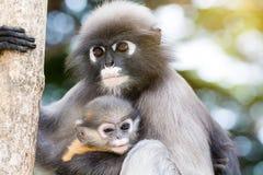 Οι καλοί πίθηκοι, χαριτωμένα γυαλιά Macaque, αστείος πίθηκος ζουν σε ένα natu Στοκ εικόνες με δικαίωμα ελεύθερης χρήσης