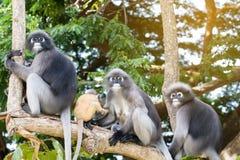 Οι καλοί πίθηκοι, χαριτωμένα γυαλιά Macaque, αστείος πίθηκος ζουν σε ένα natu Στοκ Φωτογραφία