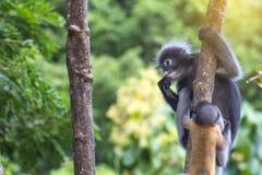 Οι καλοί πίθηκοι, χαριτωμένα γυαλιά Macaque, αστείος πίθηκος ζουν σε ένα natu Στοκ Εικόνες