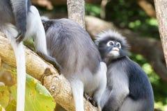 Οι καλοί πίθηκοι, χαριτωμένα γυαλιά Macaque, αστείος πίθηκος ζουν σε ένα natu Στοκ Φωτογραφίες